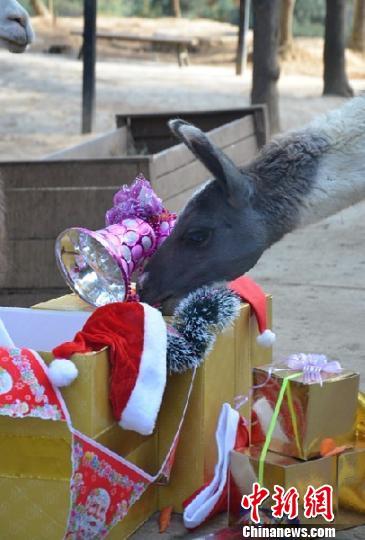 驼羊寻找礼物 白拓 摄