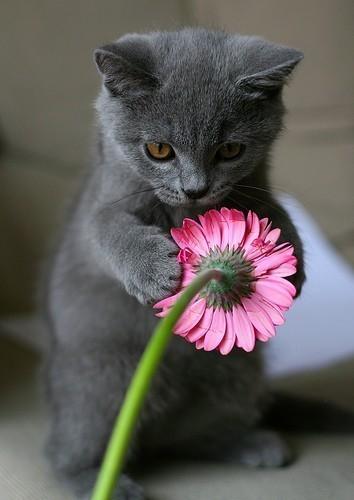 动画猫-俄罗斯蓝猫(1)_猫咪家族_光明网(组图)