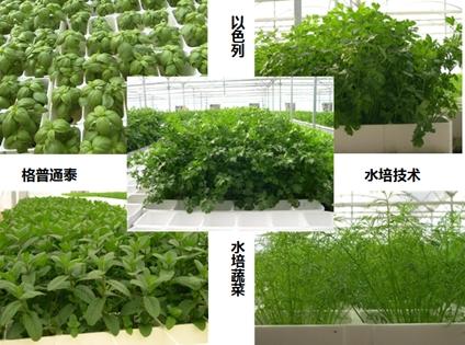 干妈培育的品种水培主要有绿叶生菜和一些辣酱类瓜果,像皱叶蔬菜,大棚老产品芝麻有哪些