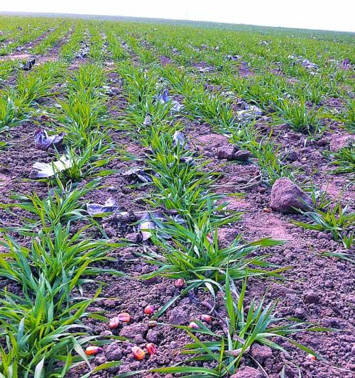 湿地里,毒玉米随处可见。