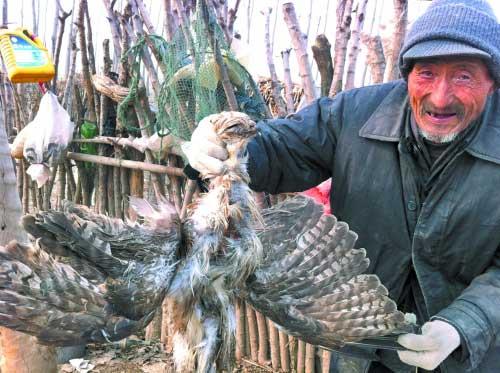 放羊老汉捡到被毒死的苍鹰。