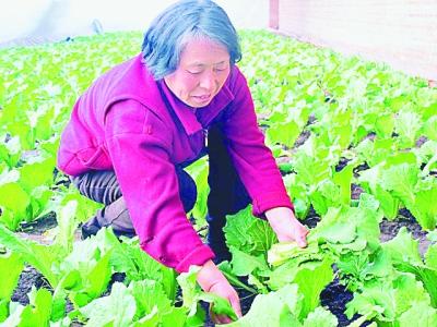 肖珍的大棚蔬菜又丰收了