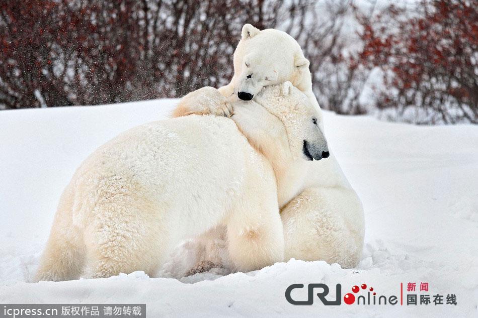 俄罗斯摄影师拍到两只北极熊组图高清相拥(诗句雪地)国画桃树和猴子的深情图片