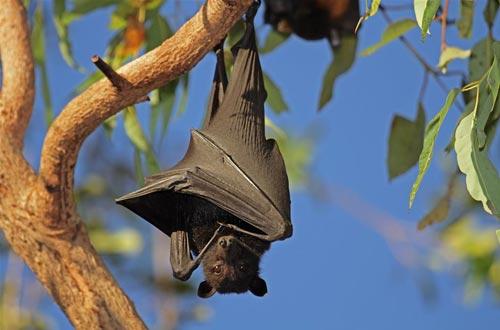 研究结果对蝙蝠的飞翔、抗病毒性以及相对较长的生命进化提出了深入的见解