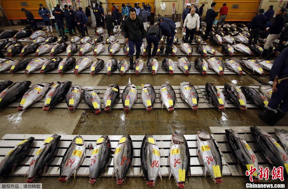 当地时间1月5日,日本东京筑地鱼市迎来新年首个交易日,首批金枪鱼拍出史上最高价,其中一条重达222公斤的蓝鳍鲔金枪鱼拍出1.55亿日元(约合177万美元)的天价。