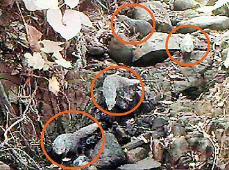 从架设的摄影机中录到4只食蟹�B家族出外觅食的珍贵画面。 台湾《联合报》