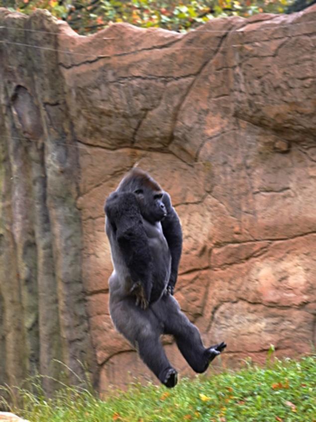 【环球网报道 记者郭文静】12岁的银背大猩猩Kidogo2012年搬家来到德国西部的Krefeld动物园。为了缓解它的思乡之苦,动物园管理人员在它的围栏里绑上绳索以分散其思乡之情。没想到,Kidogo却在绳索上玩起了高空特技,如翻跟斗、走路等。管理员的无意之举竟塑造了一位令人难以置信的运动员和杂技演员,这不禁引得媒体将镜头瞄准了这只大猩猩。   据英国《纽约每日新闻》1月5日报道,大猩猩Kidogo是在2012年4月来到Krefeld动物园的。该动物园的管理人员租借它是为了给另外两只雌性大猩猩