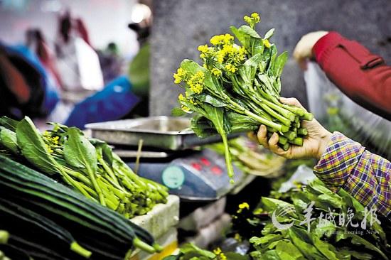 """不少菜农将""""矮子药""""用于抑制菜心等""""小个头""""蔬菜的生长"""
