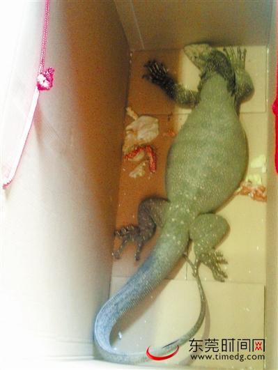 通身黄绿色,体长约1米,仅尾巴就有60厘米,眼神犀利,有一种霸王之气,昨日下午,记者在南城市民罗先生店里见到这样一只外形奇特的巨蜥。据了解,这是罗先生路经广州新塘时,看到农民兜售,觉得奇特买下的。   经市公安局森林分局两位民警辨别分析,该巨蜥为五爪金龙,属国家一级保护动物。森林分局接收后,将做一段时间的观察,再选择合适地点放生。   市民:街头买回奇怪巨蜥   12日下午,从广州办事回来途经新塘时,罗先生看到一个农民装扮的中年男子在街头兜售巨蜥。体长约1米,尾巴特别长,占到整个身长的2/3,周身