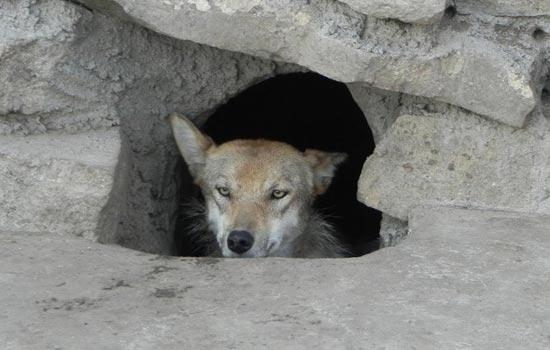 自2012年入冬以来,内蒙古中东部边境牧区狼害频发。图为一只被呼伦贝尔牧民捕获的母狼。