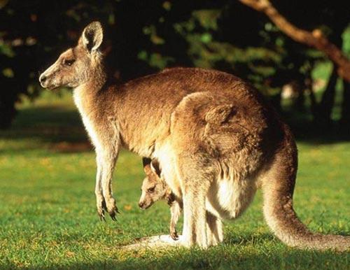 澳大利亚/袋鼠