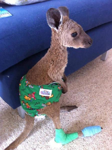 受伤的袋鼠宝宝 -2012年最可爱的动物宝宝照片