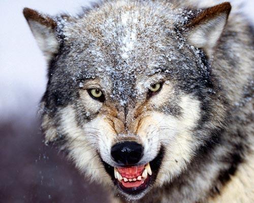 幼交狼�_新研究揭示狼无法驯养之谜 早期社会化发生突变(组图)