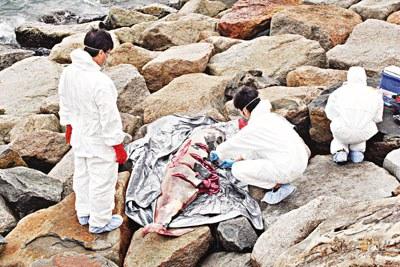 香港 海洋公园/海洋公园鲸豚保护基金专家在沙湾径石滩现场解剖检验发现的江豚...