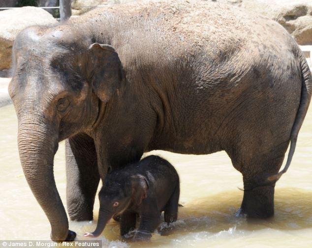 澳大利亚初生亚洲象开心戏水:大象母子憨态可掬(1)_科学探索_光明网