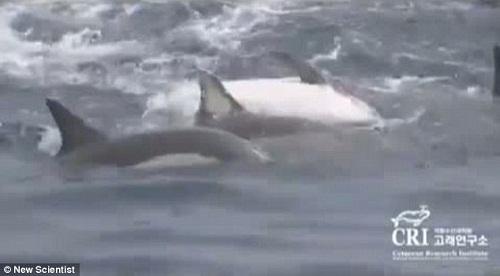 """其他海豚用身体组成""""救生艇"""",将雌海豚托出水面"""
