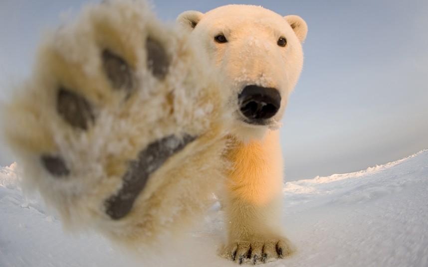 阿拉斯加国家野生动物保护区与北极熊亲密接触,拍摄下珍贵的近景照片.