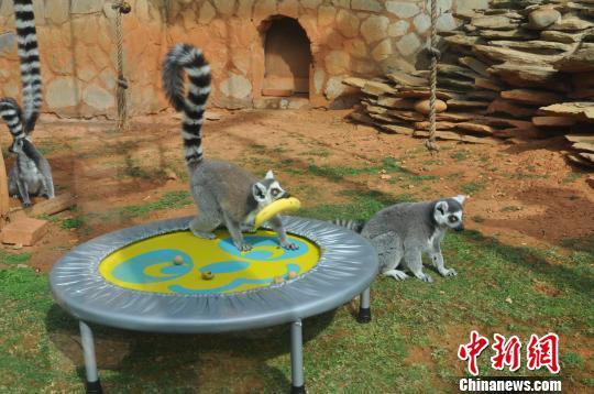 狐猴在抢水果。 白拓 摄