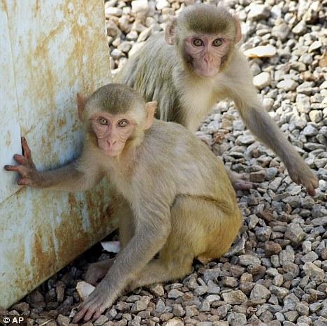 出现在村落中的野猴。