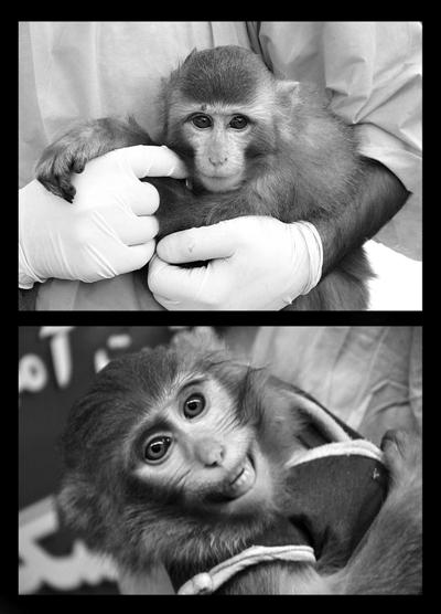 1月30日新闻发布会上的猴子,红痣不见了,且毛色较深。