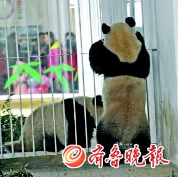 济南动物园大熊猫馆昨开馆(组图)