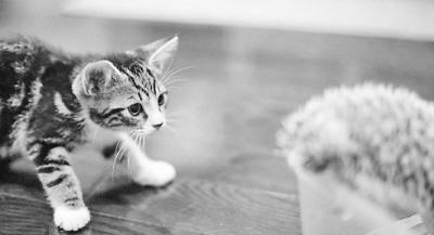 猫咪视频_视频中,一只仅两个半月大的猫咪遇见了一只刺猬宝宝.