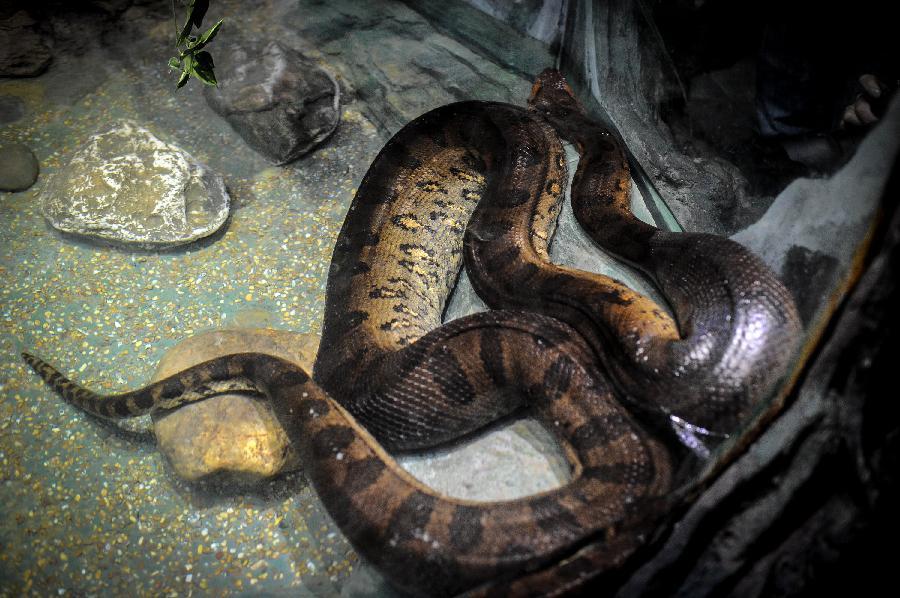 巨蛇迎春(组图)