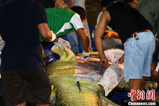 """2月12日,菲律宾政府环境部派出专家对鳄鱼""""落龙""""(Lolong)的尸体进行解剖,分析其死亡原因。中新社发 Erwin Mascarinas 摄"""