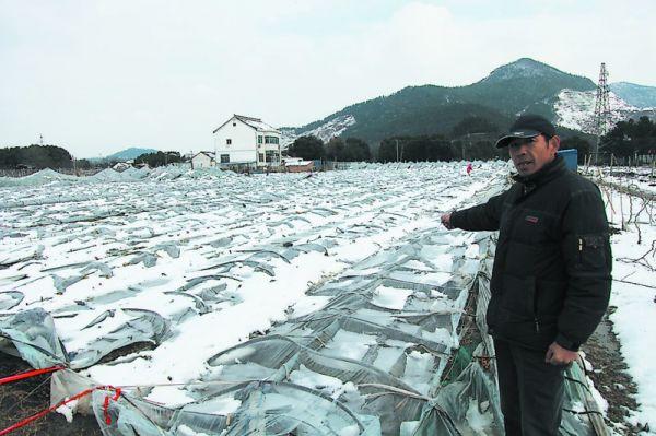 几十亩葡萄棚被积雪压塌 果农们两年心血白费(图)图片
