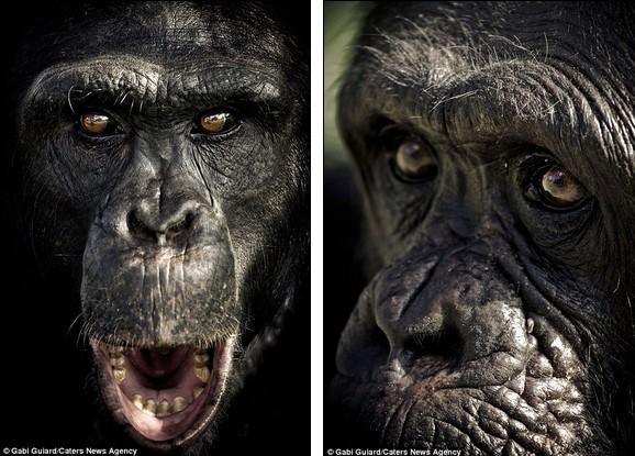 黑猩猩惊人面部表情:类似人类会冥思(图)(1)_科学探索图片