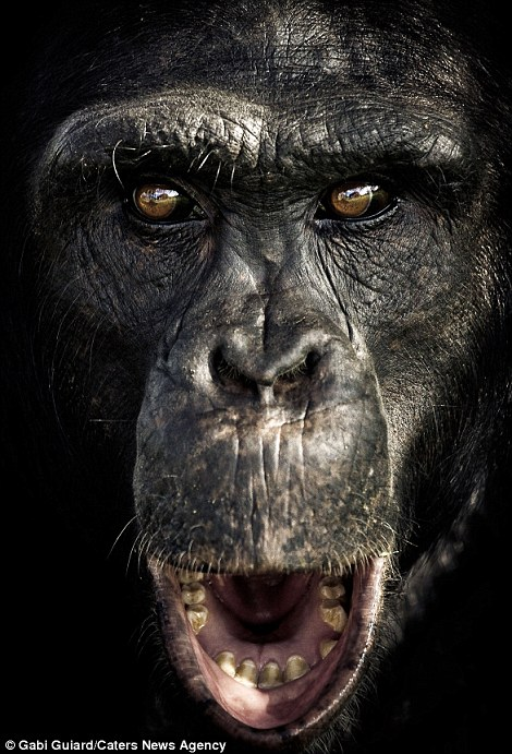 摄影师近景抓拍黑猩猩表情似人类(组图)图片