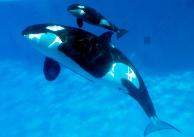 视频_视频记录虎鲸分娩过程(组图)