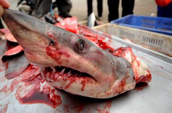 其中一条鲨鱼已经被市民瓜分一空