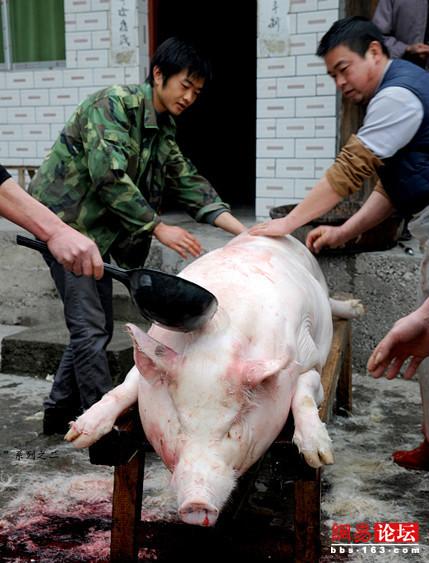 组图:各种农村杀猪场面 看得心惊肉跳