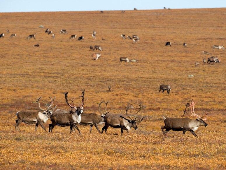 """每年夏季,大批火烈鸟就会迁徙至东非大裂谷之间的碱性湖泊。图为肯尼亚纳库鲁湖中正在进食的火烈鸟群。""""   图集详情:   随着季节的变化,大自然中的野生动物也为世界游客带来许多让人为之惊叹的世界动物大迁徙,下面就让我们一起来看看这些具有宏大规模的动物迁徙活动吧。"""