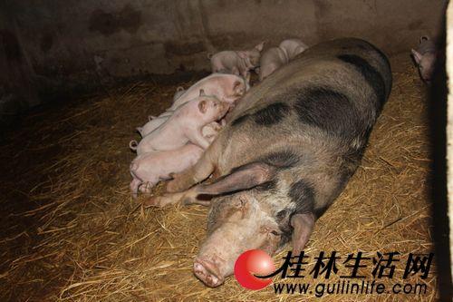 男人与猪性交_偷鸡大盗凌晨摸进村民家 遭母猪拱翻当场被擒(图)