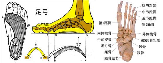 跖骨-动画人体关节示意图