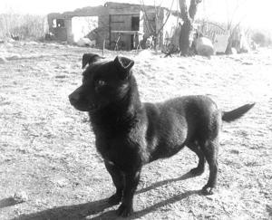 3月1日晚,3岁的波兰女孩朱莉(上图)从家中走失,在零下5℃的野外,自家养的小黑狗(下图)用身体为她保温,救了她一命。