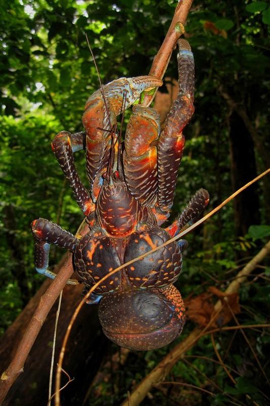 世界现存最大的节肢动物:椰子蟹(组图)