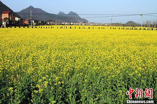 乐平市调整产业结构,鼓励农民利用冬闲田栽种油菜,盛开的油菜花不仅为