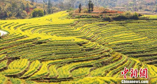 千亩梯田开满了金灿灿的油菜花,如诗如画。 丘佳纳 摄
