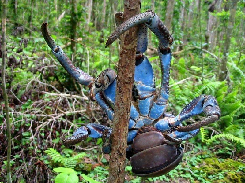 椰子蟹常吃动物尸体 世界现存最大的节肢动物