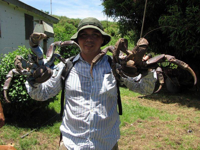 最大 椰子蟹/惊!世界现存最大节肢动物椰子蟹(组图)