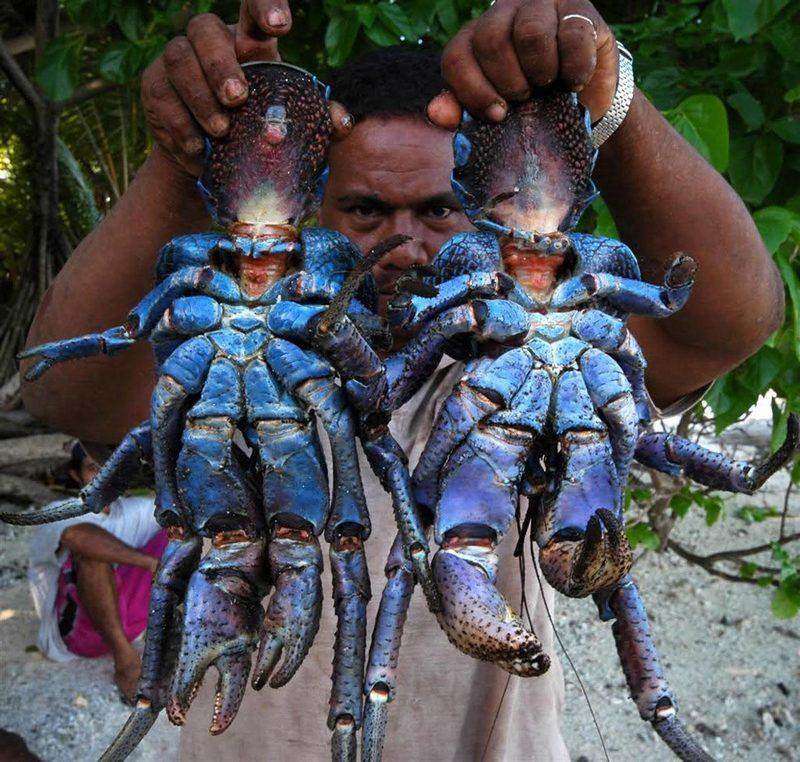 世界现存最大节肢动物椰子蟹(组图)