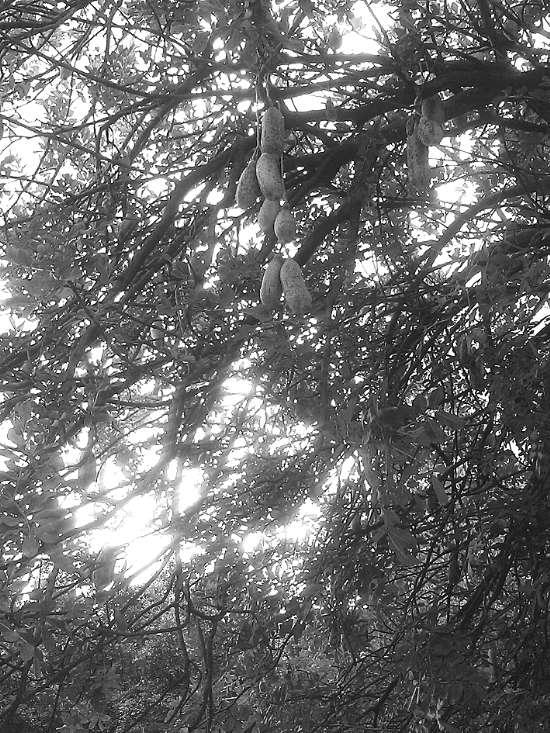 吊瓜树的果能吃吗图片