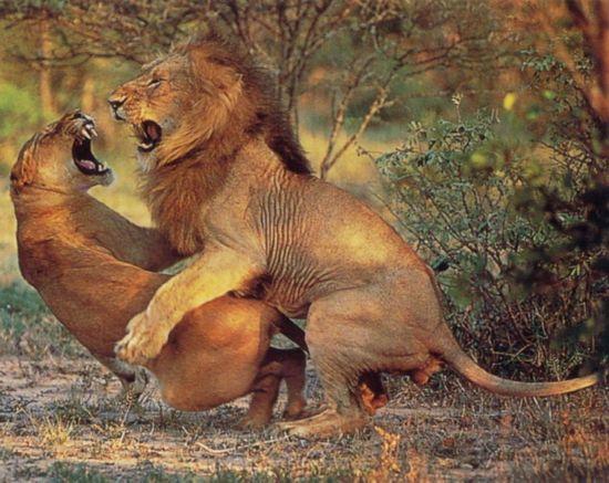 人与动物之性_在奇趣大自然中动物性行为比起人类已经规范化了的,被道德与习俗