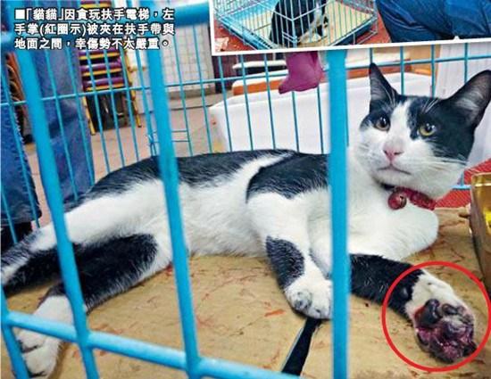 """香港肥猫玩扶梯""""修指甲"""" 爪子惨遭夹肉险断掌 图"""