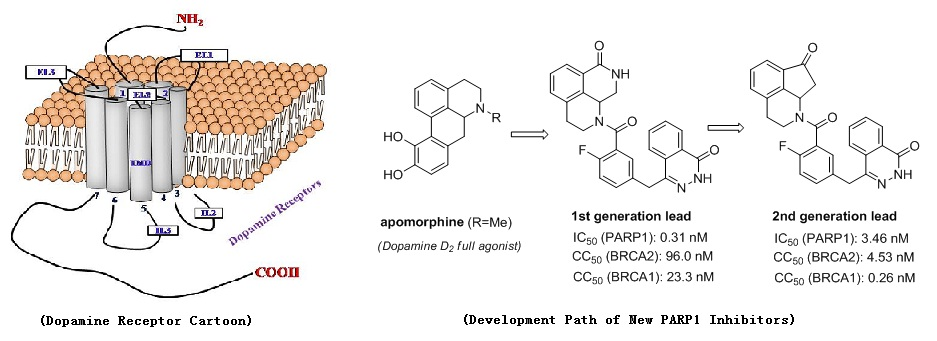 上海药物所基于四氢异喹啉骨架的药物结构优化研究获进展(图)