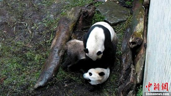 2011年2月9日,大陆赠台大熊猫团团、圆圆好事临近,首次在台北市立动物园进行人工受精。图为母大熊猫圆圆接受人工受精。台北市立动物园供图   中新网3月19日电 大陆赠台大猫熊(大熊猫)团团与圆圆进入发情高峰,尽管上周日及本周一,台北动物园让团团圆圆入洞房,不过因为技巧不佳,没有自然繁殖成功,动物园赶紧帮圆圆进行两度人工授精。   据台湾中广新闻网报道,今天(19号)台北动物园将为圆圆进行第三度人工授精。   人工授精,外界不免关注,头一年团团因为刚进入性成熟,可能不解风情错过时机,去年