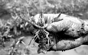 据《都市时报》报道 每年11月到次年4月,是云南元阳梯田的最佳观赏期。小龙虾的入侵,对于进入最佳观光季的元阳梯田构成了巨大威胁。一场人虾大战正在元阳县进行。